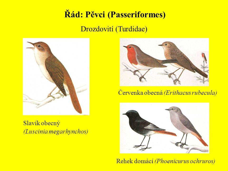 Řád: Pěvci (Passeriformes) Drozdovití (Turdidae) Červenka obecná (Erithacus rubecula) Slavík obecný (Luscinia megarhynchos) Rehek domácí (Phoenicurus