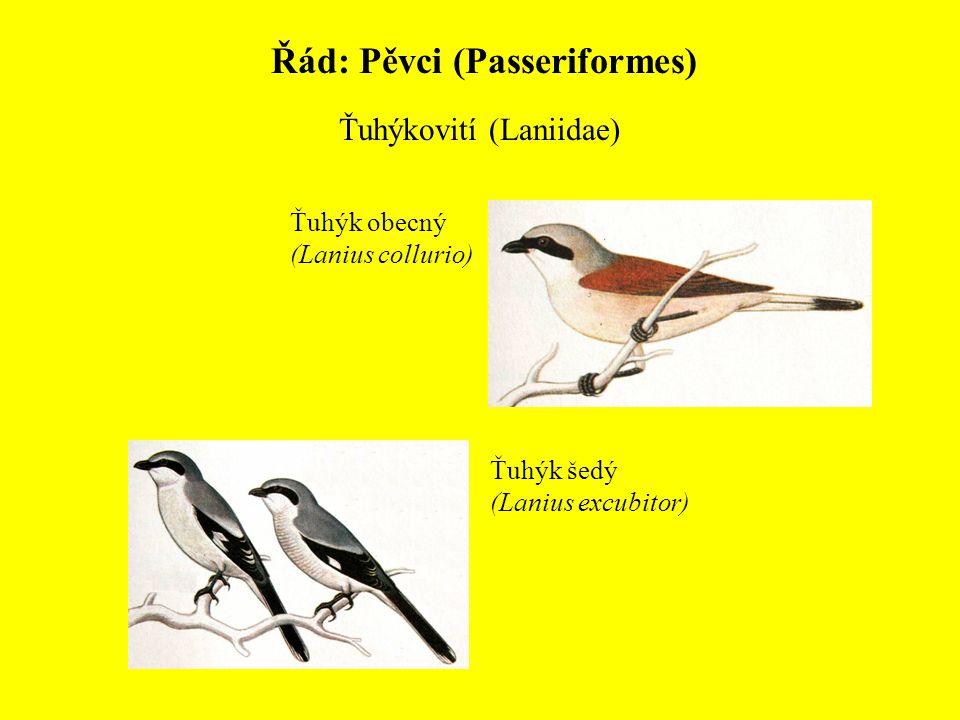 Řád: Pěvci (Passeriformes) Ťuhýkovití (Laniidae) Ťuhýk obecný (Lanius collurio) Ťuhýk šedý (Lanius excubitor)