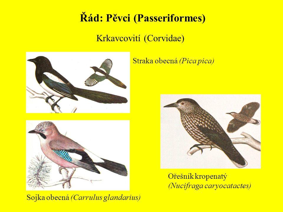 Řád: Pěvci (Passeriformes) Krkavcovití (Corvidae) Sojka obecná (Carrulus glandarius) Straka obecná (Pica pica) Ořešník kropenatý (Nucifraga caryocatac