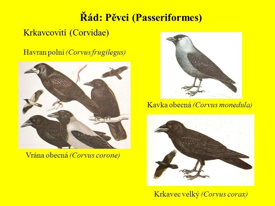 Řád: Pěvci (Passeriformes) Krkavcovití (Corvidae) Kavka obecná (Corvus monedula) Havran polní (Corvus frugilegus) Vrána obecná (Corvus corone) Krkavec