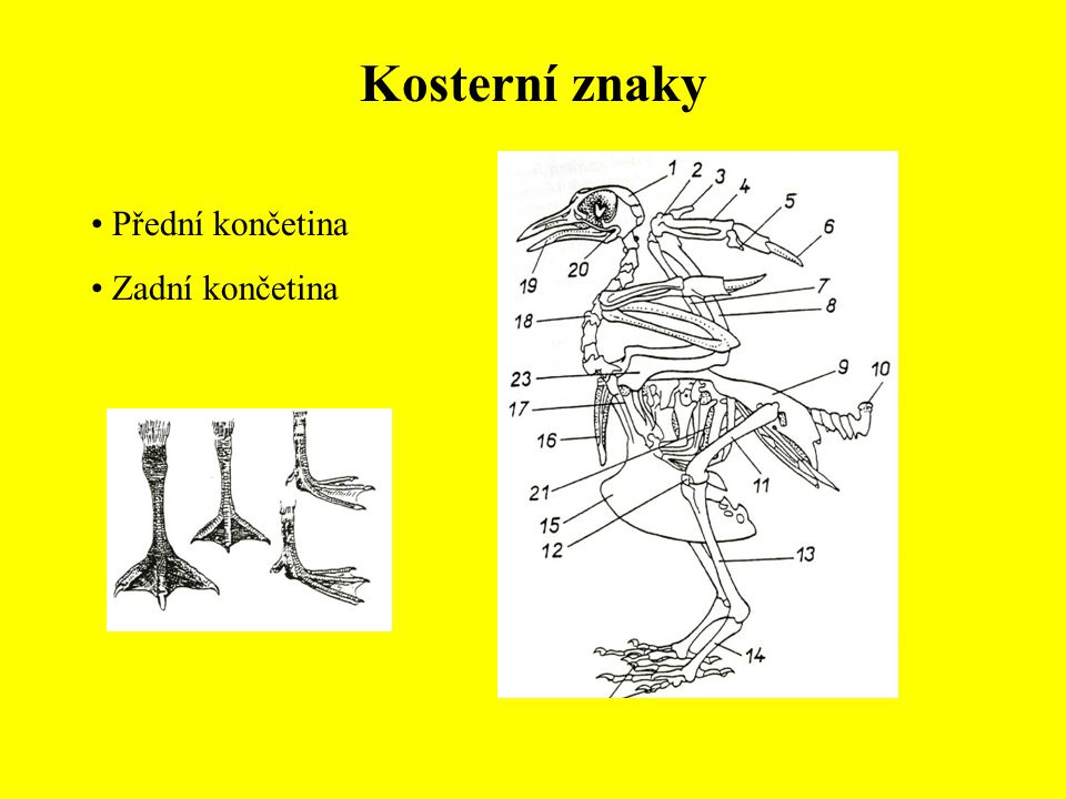 Řád: Měkkozobí (Columbiformes) Holub skalní (Columba livia) Holub hřivnáč (Columba palumbus) Holub doupňák (Columba oenas) Hrdlička divoká (Streptopelia turtur) Hrdlička zahradní (Streptopelia decaocto)