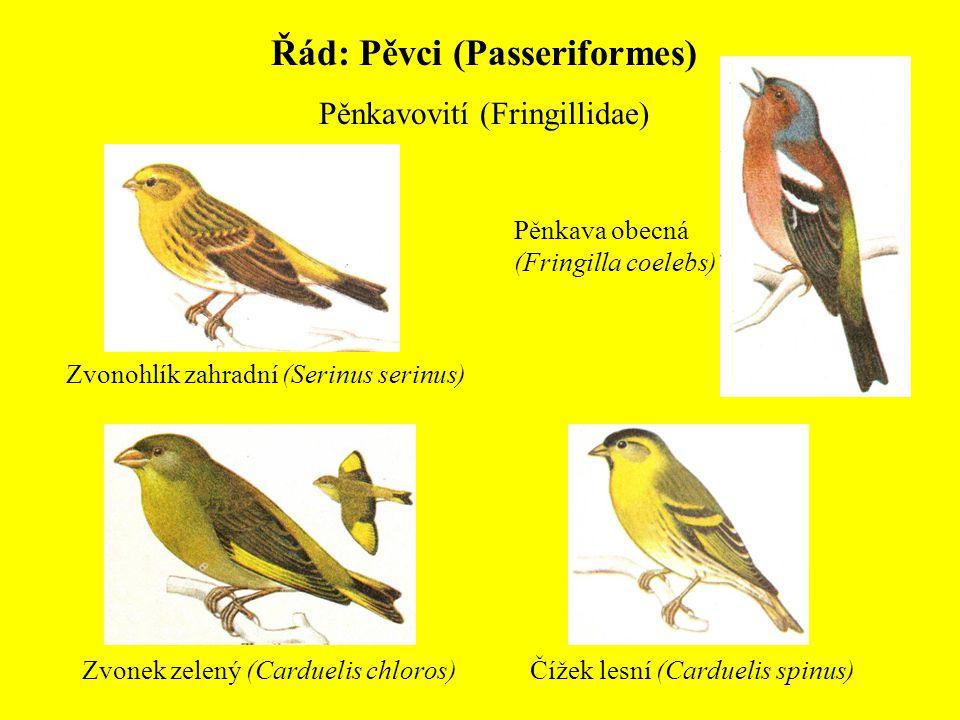 Řád: Pěvci (Passeriformes) Pěnkavovití (Fringillidae) Pěnkava obecná (Fringilla coelebs) Zvonohlík zahradní (Serinus serinus) Čížek lesní (Carduelis s