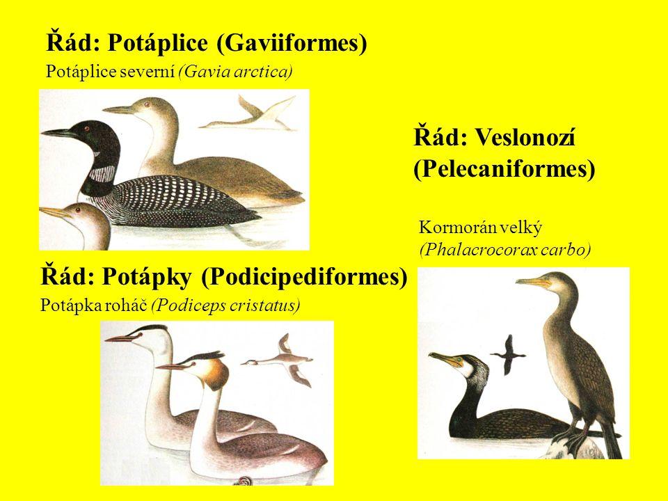 Řád: Potáplice (Gaviiformes) Potáplice severní (Gavia arctica) Řád: Potápky (Podicipediformes) Potápka roháč (Podiceps cristatus) Řád: Veslonozí (Pele