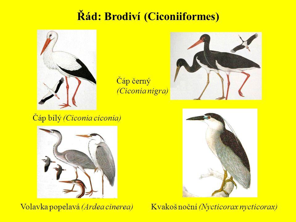 Řád: Brodiví (Ciconiiformes) Volavka popelavá (Ardea cinerea) Čáp bílý (Ciconia ciconia) Čáp černý (Ciconia nigra) Kvakoš noční (Nycticorax nycticorax