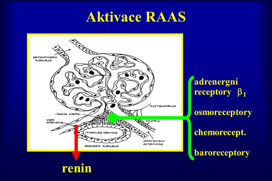 Aktivace RAAS adrenergní receptory  1 osmoreceptory chemorecept. baroreceptory renin
