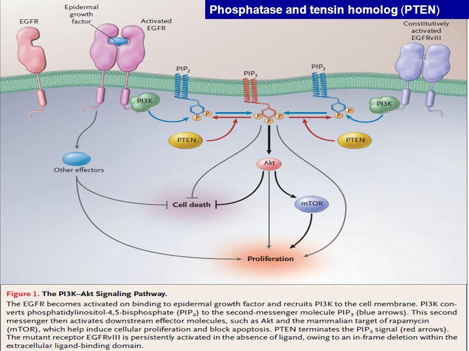Phosphatase and tensin homolog (PTEN)