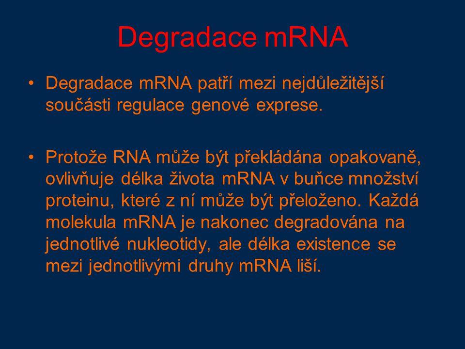 Degradace mRNA Degradace mRNA patří mezi nejdůležitější součásti regulace genové exprese.