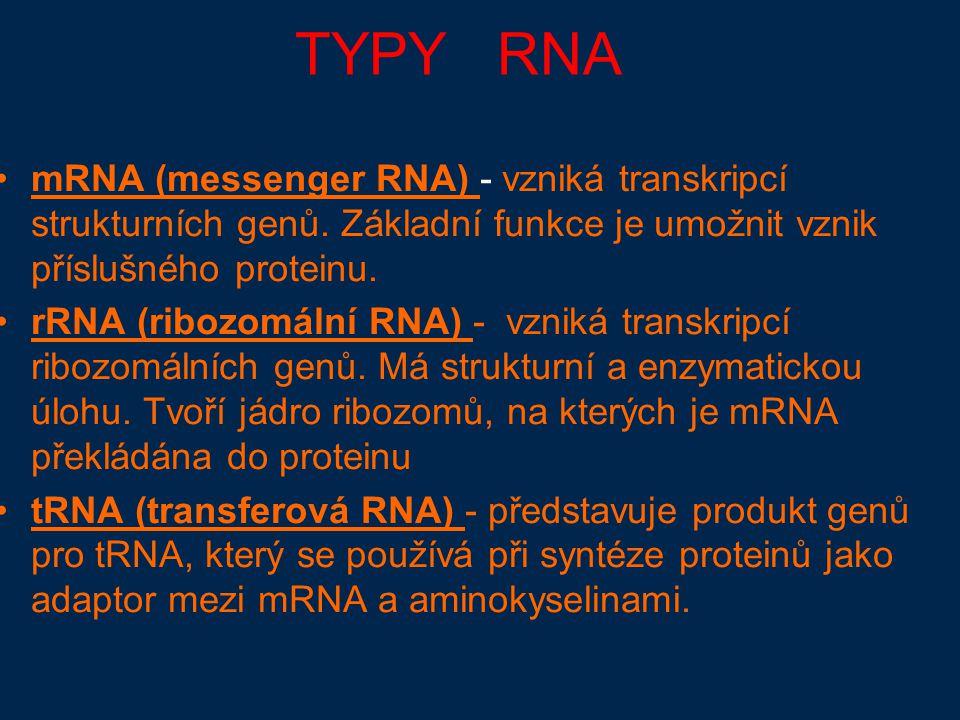 TYPY RNA mRNA (messenger RNA) - vzniká transkripcí strukturních genů.