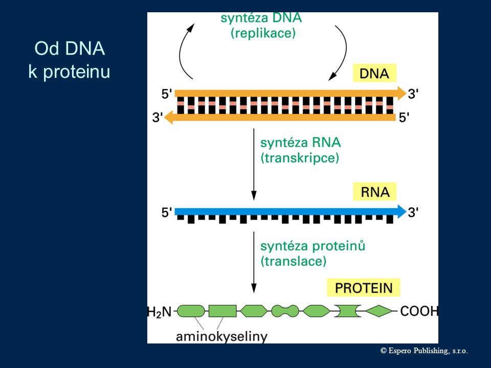 Od DNA k proteinu © Espero Publishing, s.r.o.