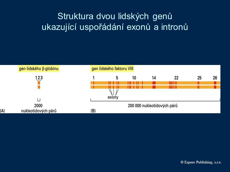 Struktura dvou lidských genů ukazující uspořádání exonů a intronů © Espero Publishing, s.r.o.