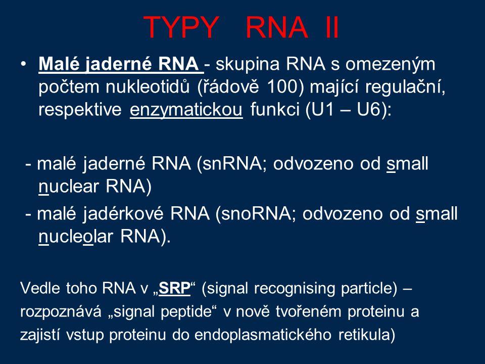 TYPY RNA II Malé jaderné RNA - skupina RNA s omezeným počtem nukleotidů (řádově 100) mající regulační, respektive enzymatickou funkci (U1 – U6): - malé jaderné RNA (snRNA; odvozeno od small nuclear RNA) - malé jadérkové RNA (snoRNA; odvozeno od small nucleolar RNA).