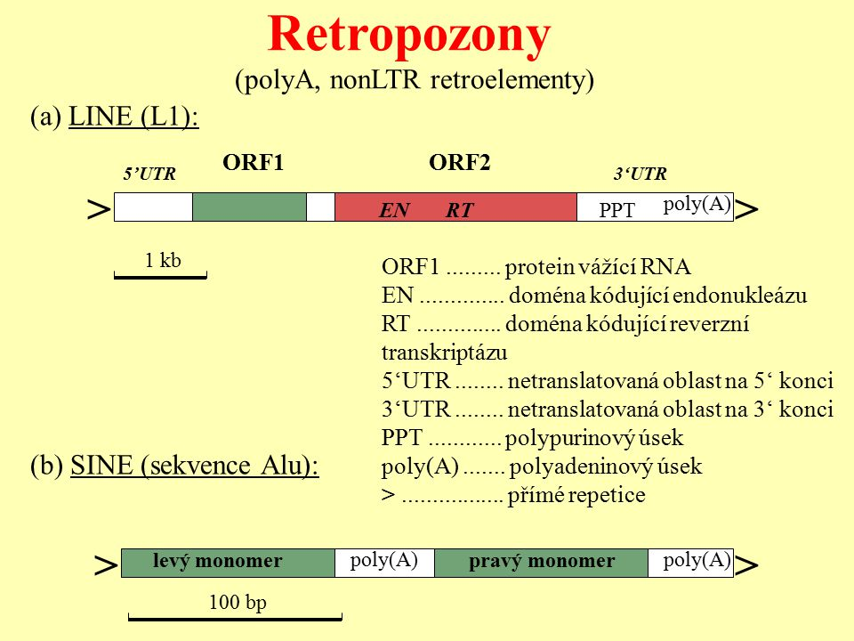 ORF1.........protein vážící RNA EN.............. doména kódující endonukleázu RT..............