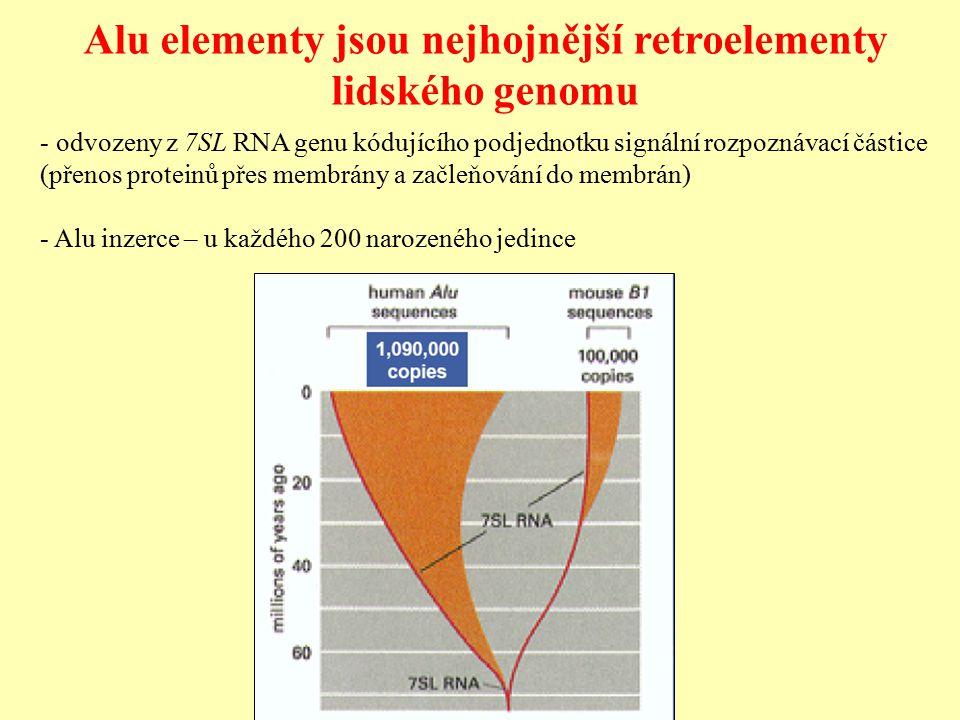 Alu elementy jsou nejhojnější retroelementy lidského genomu - odvozeny z 7SL RNA genu kódujícího podjednotku signální rozpoznávací částice (přenos proteinů přes membrány a začleňování do membrán) - Alu inzerce – u každého 200 narozeného jedince