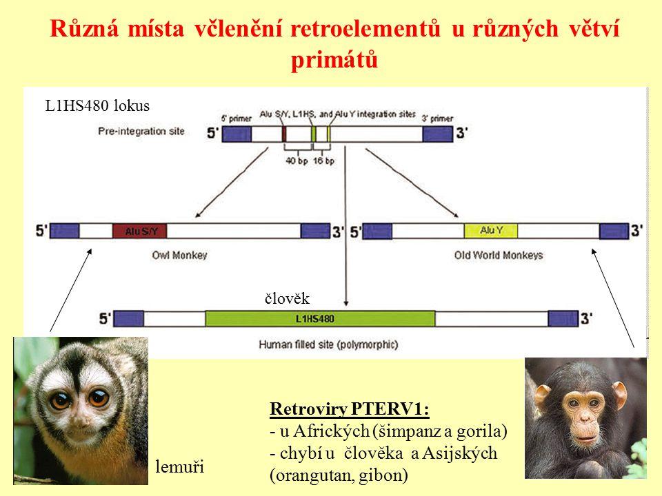 Různá místa včlenění retroelementů u různých větví primátů lemuři L1HS480 lokus Retroviry PTERV1: - u Afrických (šimpanz a gorila) - chybí u člověka a Asijských (orangutan, gibon) člověk