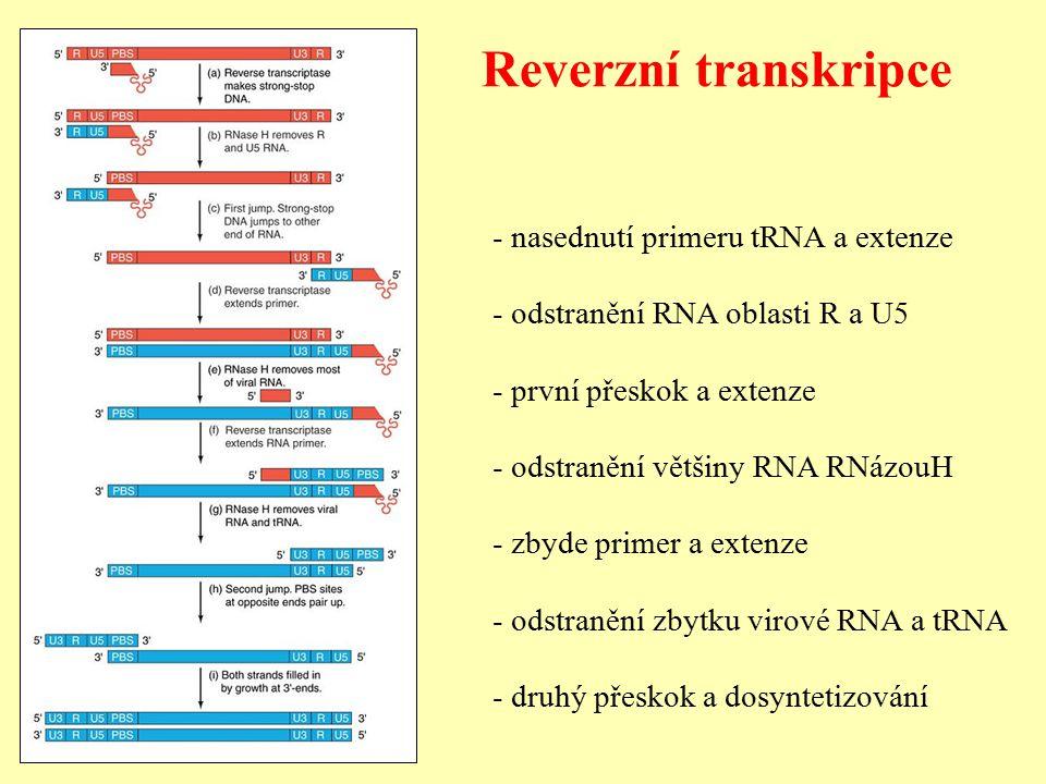 Reverzní transkripce - nasednutí primeru tRNA a extenze - odstranění RNA oblasti R a U5 - první přeskok a extenze - odstranění většiny RNA RNázouH - zbyde primer a extenze - odstranění zbytku virové RNA a tRNA - druhý přeskok a dosyntetizování