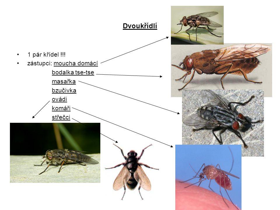 Dvoukřídlí 1 pár křídel !!! zástupci: moucha domácí bodalka tse-tse masařka bzučivka ovádi komáři střečci