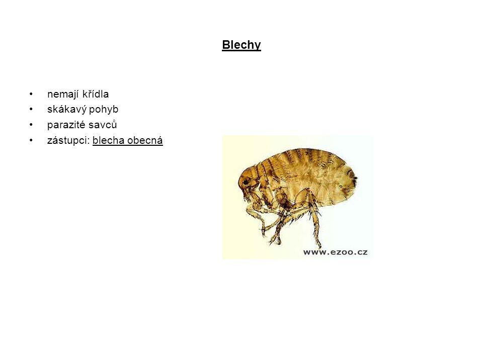 Blechy nemají křídla skákavý pohyb parazité savců zástupci: blecha obecná