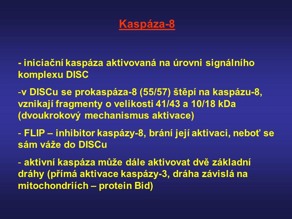 Kaspáza-8 - iniciační kaspáza aktivovaná na úrovni signálního komplexu DISC -v DISCu se prokaspáza-8 (55/57) štěpí na kaspázu-8, vznikají fragmenty o