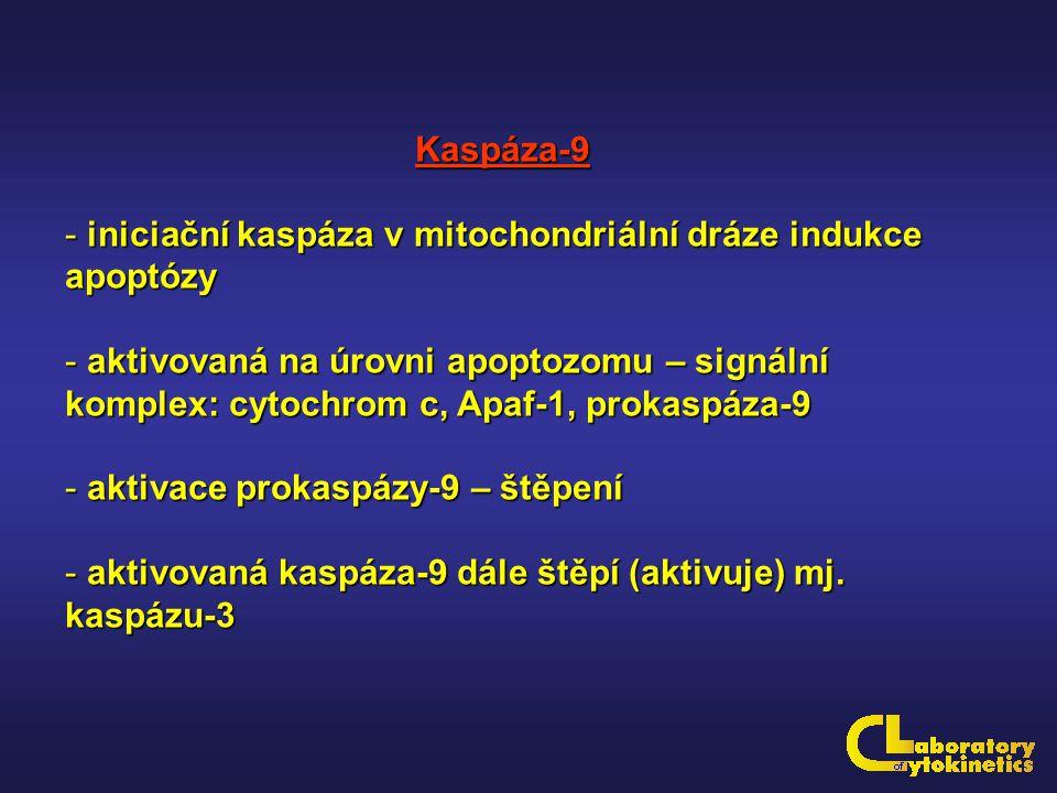 Kaspáza-9 - iniciační kaspáza v mitochondriální dráze indukce apoptózy - aktivovaná na úrovni apoptozomu – signální komplex: cytochrom c, Apaf-1, prok