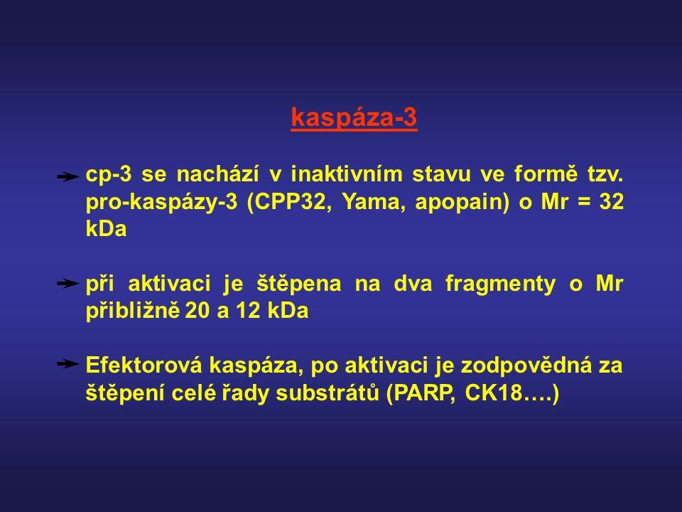 kaspáza-3 cp-3 se nachází v inaktivním stavu ve formě tzv. pro-kaspázy-3 (CPP32, Yama, apopain) o Mr = 32 kDa při aktivaci je štěpena na dva fragmenty