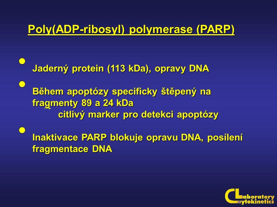 Poly(ADP-ribosyl) polymerase (PARP) Jaderný protein (113 kDa), opravy DNA Během apoptózy specificky štěpený na fragmenty 89 a 24 kDa citlivý marker pr