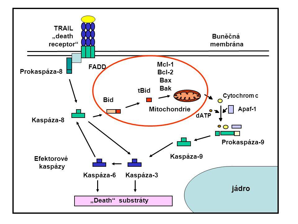 """Efektorové kaspázy Kaspáza-8 Kaspáza-9 Kaspáza-3 Prokaspáza-9 dATP Apaf-1 Cytochrom c Prokaspáza-8 Bid tBid Mitochondrie """"Death"""" substráty Buněčná mem"""