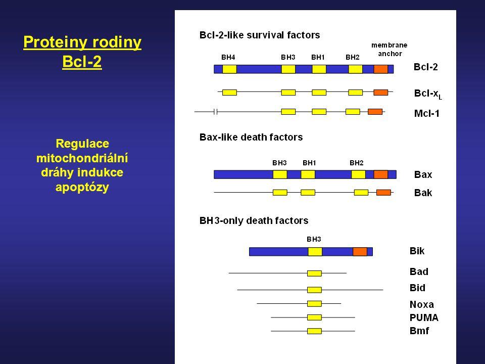 Proteiny rodiny Bcl-2 Regulace mitochondriální dráhy indukce apoptózy
