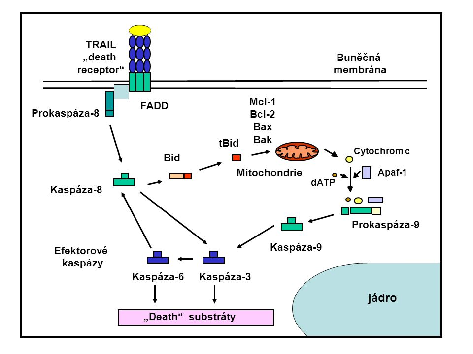 Ovlivnění citlivosti buněk k účinkům TRAILu: - na úrovni receptorů - množství DRs a DcRs, jejich mutace - na úrovni jednotlivých proteinů v signální dráze TRAILu - kaspáza-8, FLIP - Smac/DIABLO - inhibitory apoptózy (IAPs) - NF-kappaB - Bcl-2 rodina (Mcl-1, Bcl-2, Bax…) - kinázy - atd…..