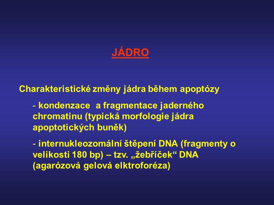 JÁDRO Charakteristické změny jádra během apoptózy - kondenzace a fragmentace jaderného chromatinu (typická morfologie jádra apoptotických buněk) - int