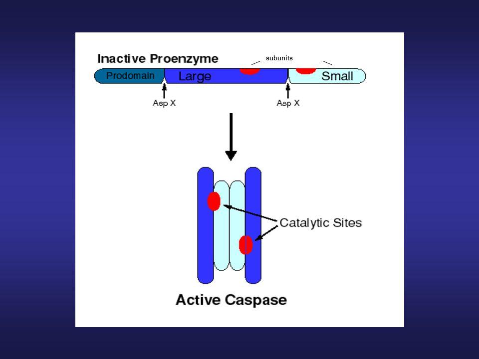 -Substráty kaspáz: - PARP – poly(ADP)ribosyl polymeráza - cytokeratiny (CK18) -actin, fodrin, lamin - kaspázy - proteiny Bcl-2 rodiny – Bid -kinázy (PKC) - atd.