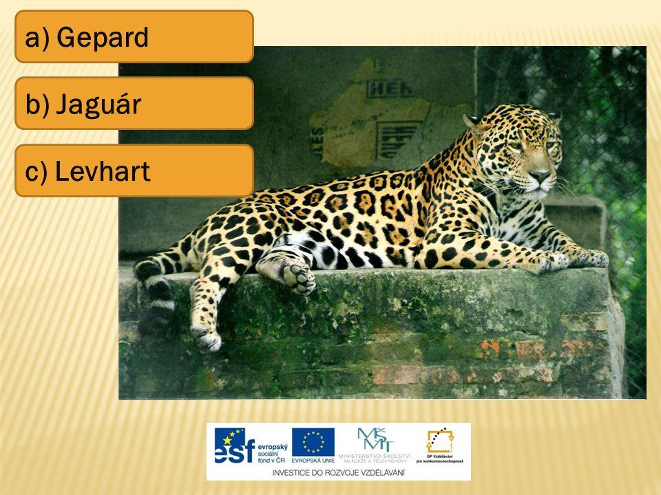 a) Gepard b) Jaguár c) Levhart