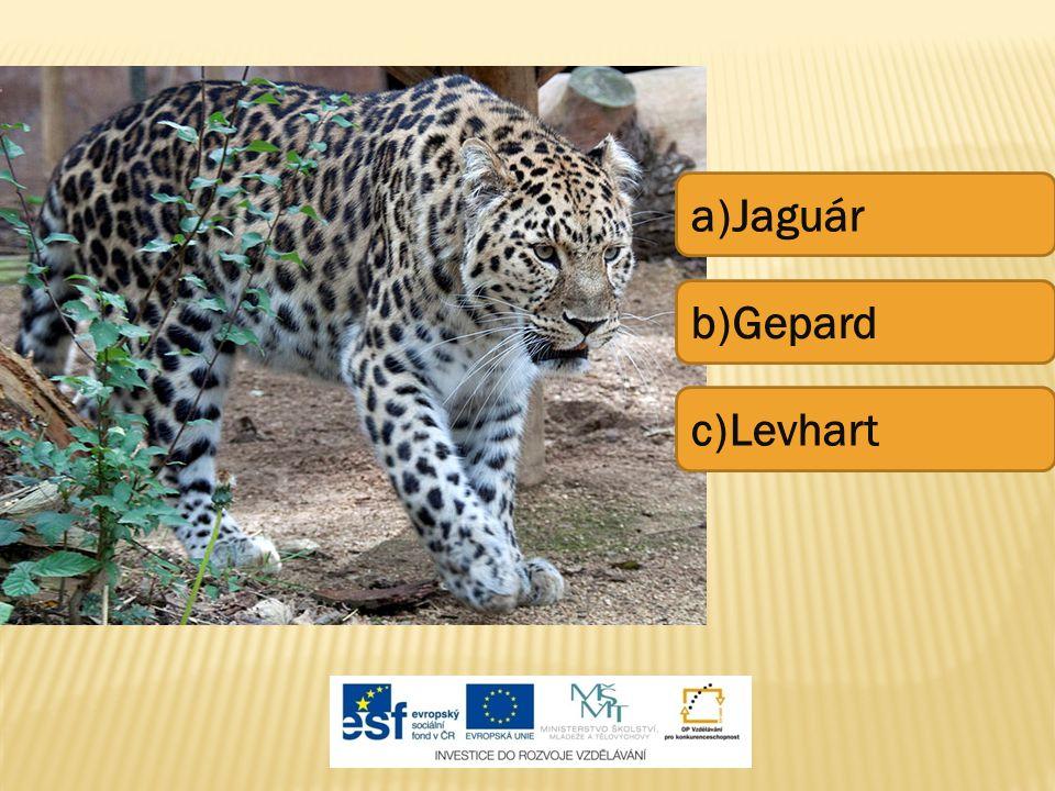 a)Jaguár b)Gepard c)Levhart