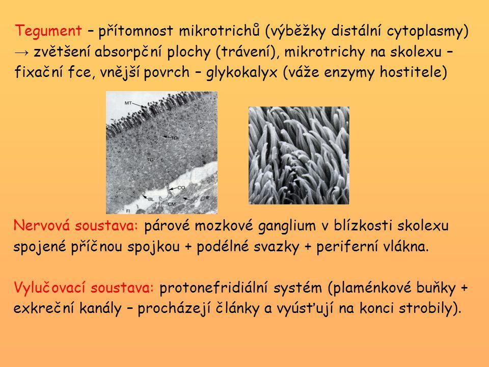 Tegument – přítomnost mikrotrichů (výběžky distální cytoplasmy) → zvětšení absorpční plochy (trávení), mikrotrichy na skolexu – fixační fce, vnější po