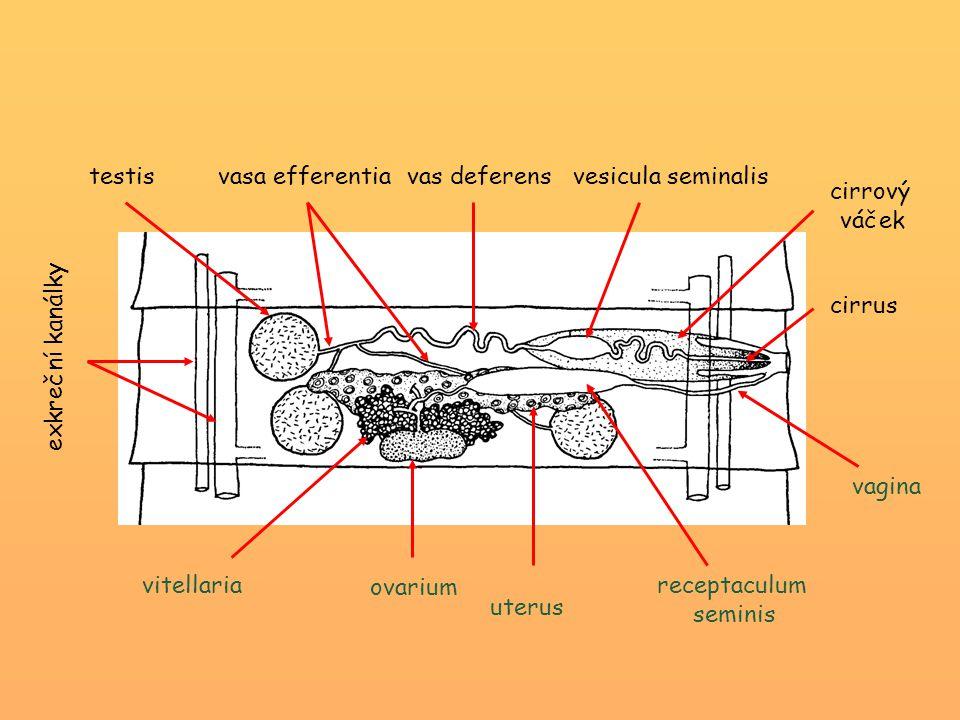 testis vasa efferentia vas deferensvesicula seminalis exkreční kanálky vitellaria ovarium uterus receptaculum seminis cirrus cirrový váček vagina