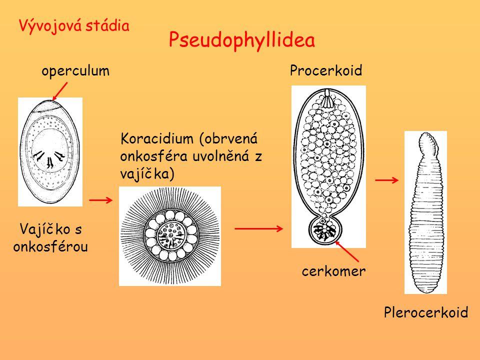 Vývojová stádia Vajíčko s onkosférou operculum Koracidium (obrvená onkosféra uvolněná z vajíčka) cerkomer Procerkoid Plerocerkoid Pseudophyllidea