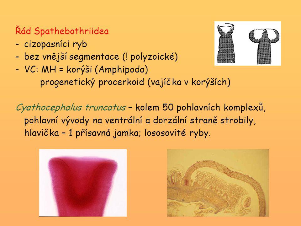 Řád Spathebothriidea -cizopasníci ryb -bez vnější segmentace (! polyzoické) -VC: MH = korýši (Amphipoda) progenetický procerkoid (vajíčka v korýších)
