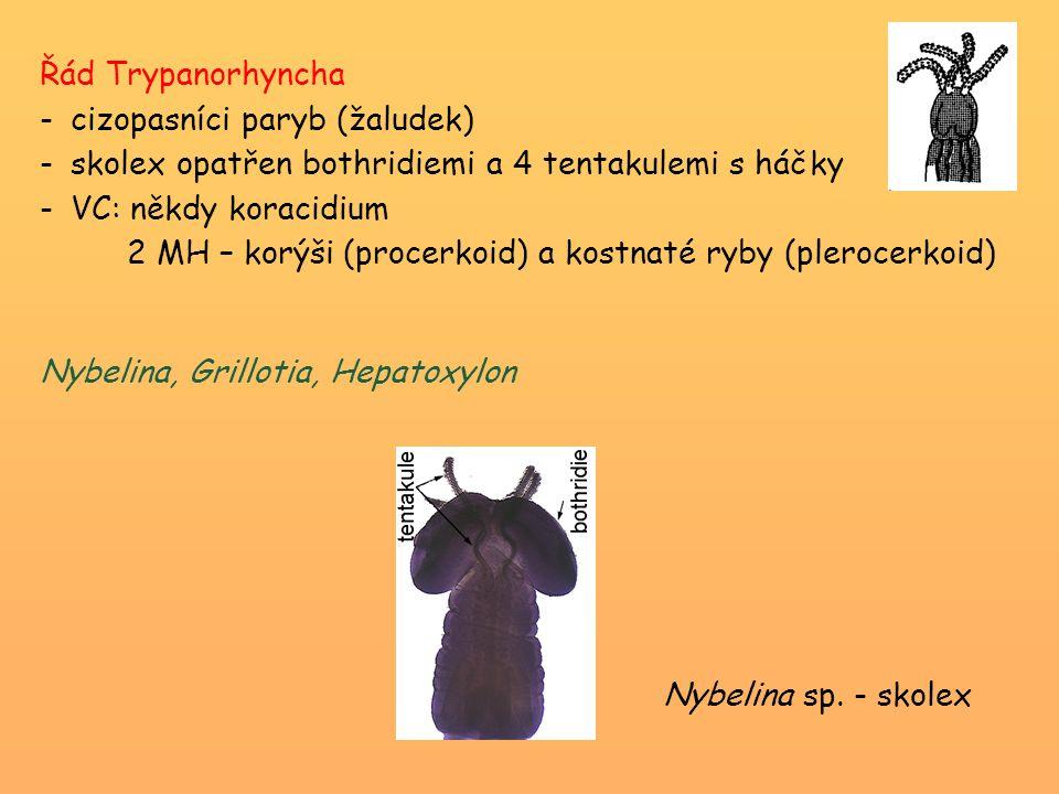 Řád Trypanorhyncha -cizopasníci paryb (žaludek) -skolex opatřen bothridiemi a 4 tentakulemi s háčky -VC: někdy koracidium 2 MH – korýši (procerkoid) a