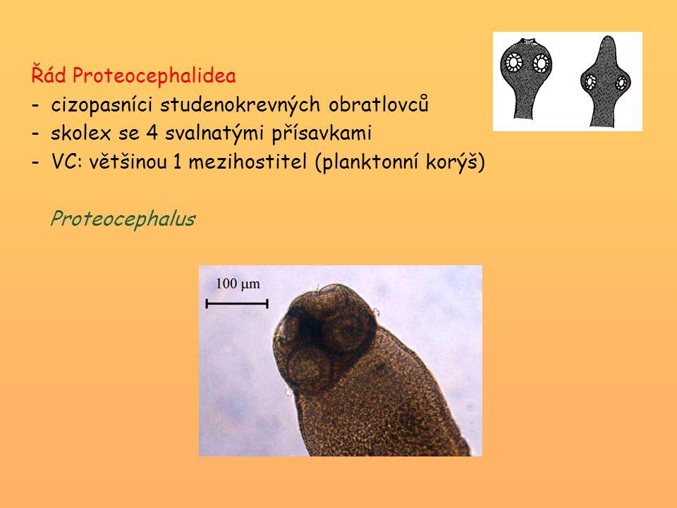Řád Proteocephalidea -cizopasníci studenokrevných obratlovců -skolex se 4 svalnatými přísavkami -VC: většinou 1 mezihostitel (planktonní korýš) Proteo