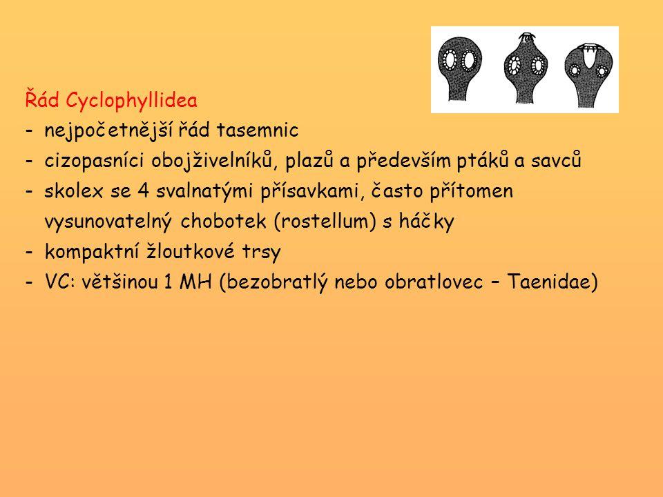 Řád Cyclophyllidea -nejpočetnější řád tasemnic -cizopasníci obojživelníků, plazů a především ptáků a savců -skolex se 4 svalnatými přísavkami, často p