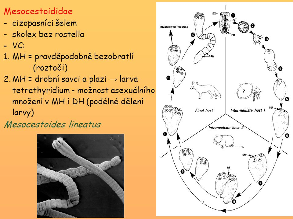 Mesocestoididae -cizopasníci šelem -skolex bez rostella -VC: 1.MH = pravděpodobně bezobratlí (roztoči) 2.MH = drobní savci a plazi → larva tetrathyrid
