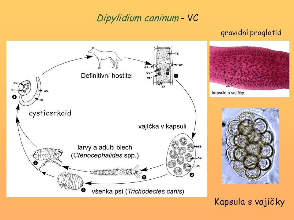 Dipylidium caninum - VC Kapsula s vajíčky gravidní proglotid cysticerkoid