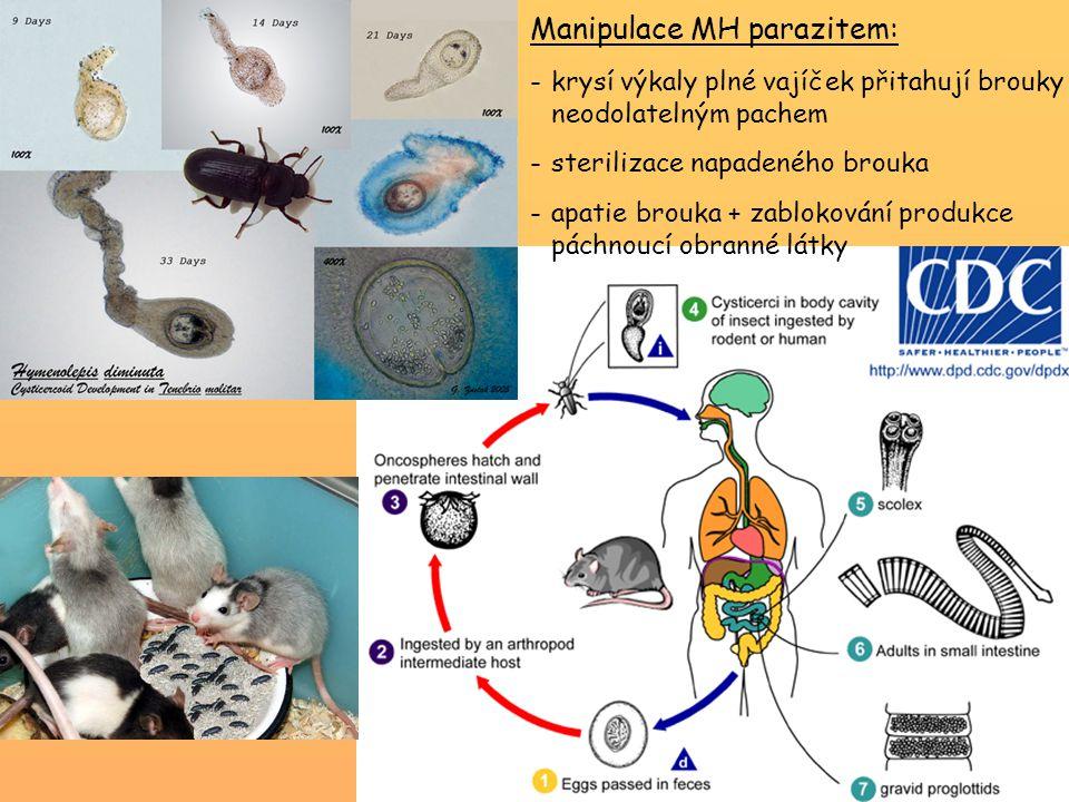 Manipulace MH parazitem: -krysí výkaly plné vajíček přitahují brouky neodolatelným pachem -sterilizace napadeného brouka -apatie brouka + zablokování