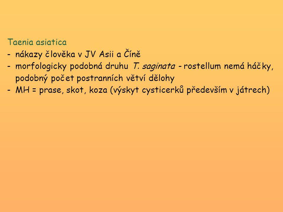 Taenia asiatica -nákazy člověka v JV Asii a Číně -morfologicky podobná druhu T. saginata - rostellum nemá háčky, podobný počet postranních větví děloh