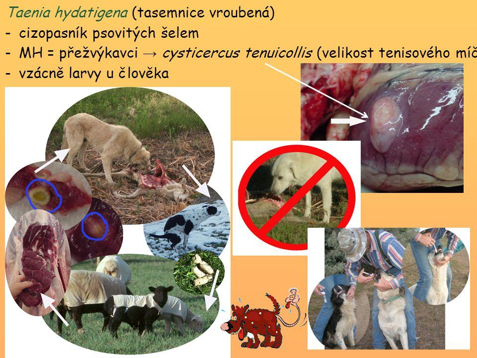 Taenia hydatigena (tasemnice vroubená) -cizopasník psovitých šelem -MH = přežvýkavci → cysticercus tenuicollis (velikost tenisového míčku) – úhyn jehň