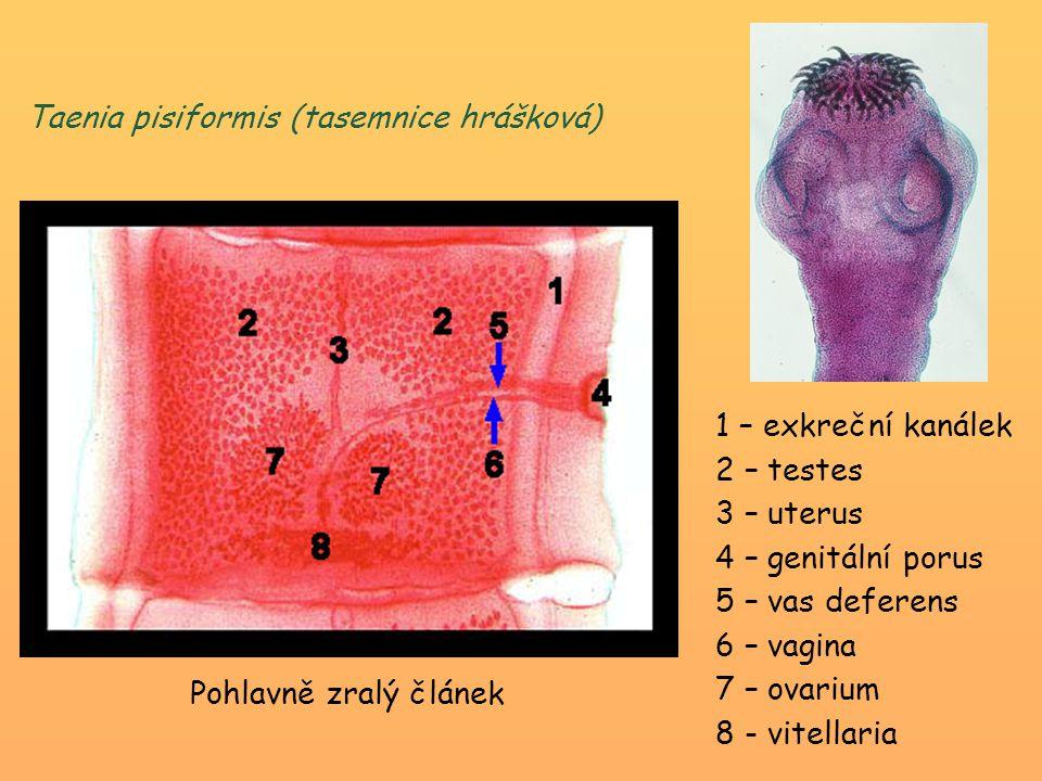 1 – exkreční kanálek 2 – testes 3 – uterus 4 – genitální porus 5 – vas deferens 6 – vagina 7 – ovarium 8 - vitellaria Pohlavně zralý článek Taenia pis