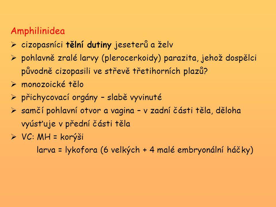 Taenia hydatigena (tasemnice vroubená) -cizopasník psovitých šelem -MH = přežvýkavci → cysticercus tenuicollis (velikost tenisového míčku) – úhyn jehňat -vzácně larvy u člověka