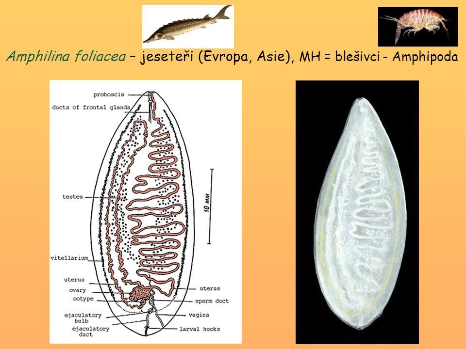 Amphilina foliacea – jeseteři (Evropa, Asie), MH = blešivci - Amphipoda