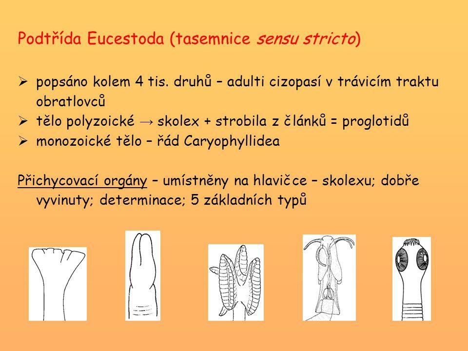 Podtřída Eucestoda (tasemnice sensu stricto)  popsáno kolem 4 tis. druhů – adulti cizopasí v trávicím traktu obratlovců  tělo polyzoické → skolex +
