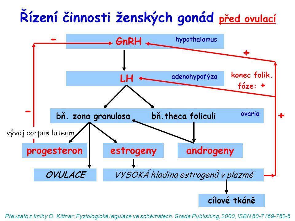 Řízení činnosti ženských gonád před ovulací GnRH hypothalamus LH adenohypofýza bň. zona granulosa bň.theca foliculi ovaria OVULACE progesteronandrogen