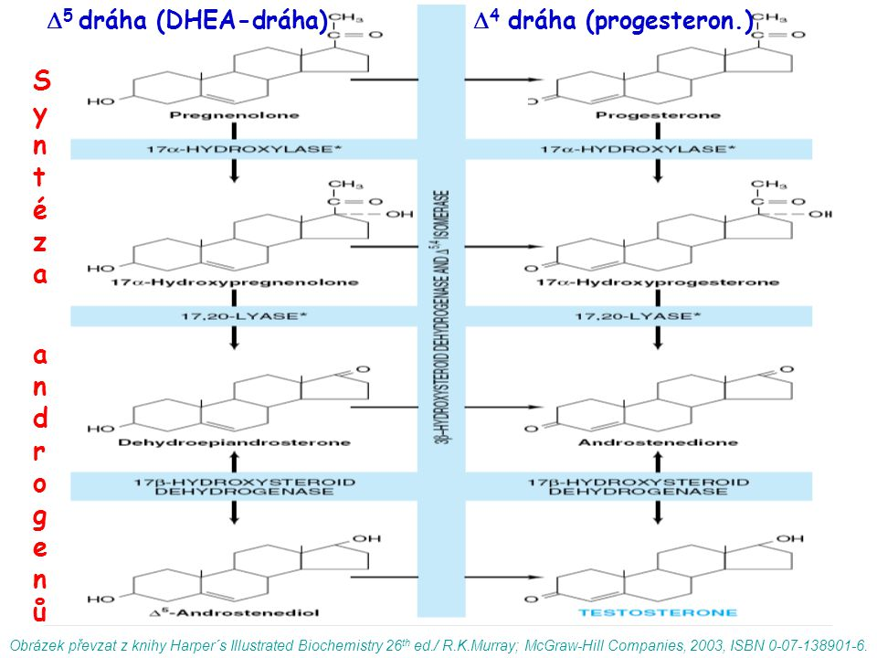 Obrázek převzat z knihy Harper´s Illustrated Biochemistry 26 th ed./ R.K.Murray; McGraw-Hill Companies, 2003, ISBN 0-07-138901-6.  5 dráha (DHEA-dráh